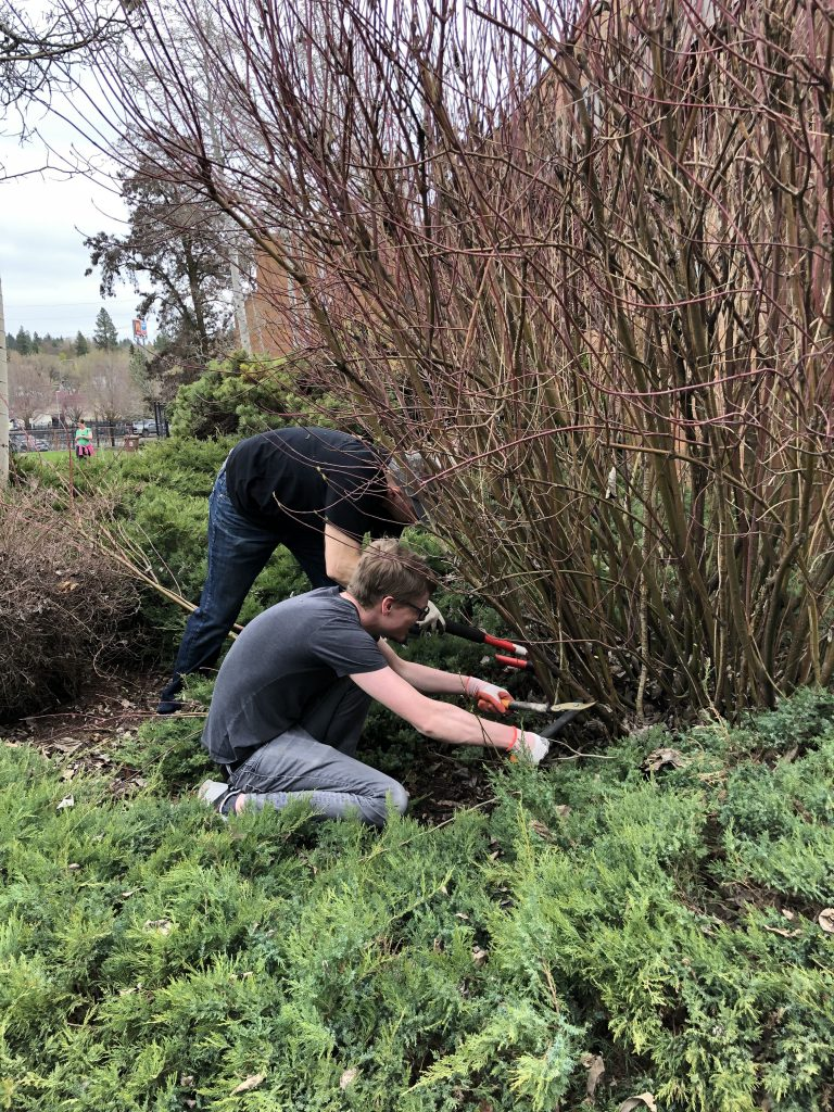 Two men trim around a hedge in spring
